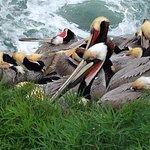 Pelicans above sea caves (winter plumage)