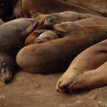 Sea lions hauled out on rocks, near La Jolla sea caves