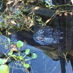Tigertail Airboat Tours Photo