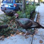 Brookline has turkeys in the neighborhood.  This photo taken a few steps outside B&B