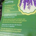 wisteria details