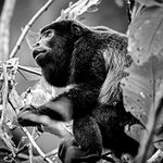 Howler Monkeys can be heard almost every morning