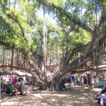Lahaina's fascinating, famous banyan tree.