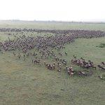 Wildebeest migration from balloon