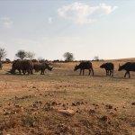 Buffalo meet Rhino