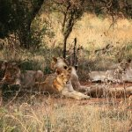 Beautiful lions relaxing at Pride of Africa Private Nature Reserve.