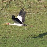 Yellow Billed stork from the observation deck at camp.