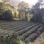 Huangfengwo Tea Mountain of Meizhou
