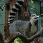 We could watch the Lemurs forever they are just such amazing animals.