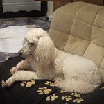 one of our poodles