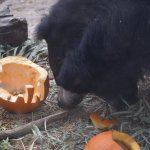 sloth bear eating a pumpkin