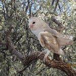 Barn Owl in the Wild Bird Show
