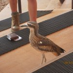 Curlew in the Wild Bird Show