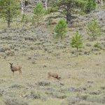 Wildlife in the Canyon - Herd of Deers