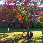 A Flamboyant tree in the garden between the two rows of rooms