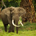The last of the big tuskers can be found in Ngorongoro Crater