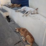 Let sleeping dogs lie - tired pups in Udaipur