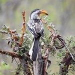 African hornbill (Zazu from Lion King)