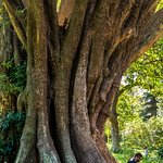 Meditating under an old fig tree.