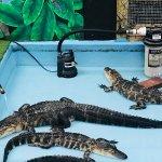 Chilling gators.