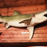Shark on wall (real)