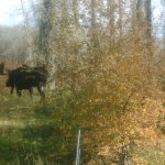 The neighbors are quiet, but a little nosy.. a bull moose in our backyard