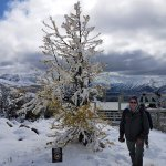 Golden Larch Tree with snow
