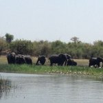 Breeding herd of Elephants