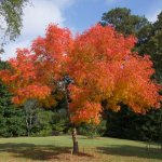Chinese Pistache tree in full autumnal glory!