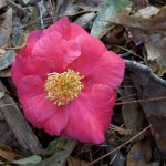 One of many camellias in bloom in early November
