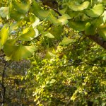 This gingko tree turning color for autumn