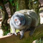 A Short Tailed Lemur