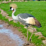 An African Crowned Crane