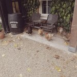 some chickens outside Acton's Pub