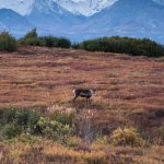 A caribou along the side of Denali Park Road
