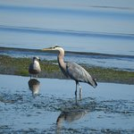 great blue heron feeding in low tide