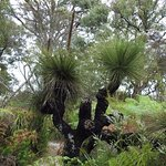 Very old Grass Tree