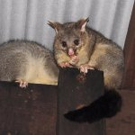 Friendly Brush Tail Possum