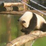 One of the 3 baby Panda's