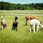 Outstanding Dreams Alpaca Farm is located in Caroline County, MD.