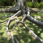 Trees with the most unbelievable roots like an octopus
