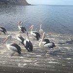 Pelican Feeding Foto