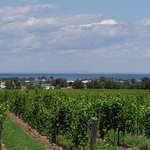Thirty Bench vines: If you look closely you can see Toronto in the distance.