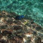 Malmok Beach - Blue Tang