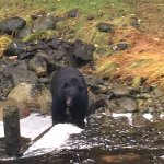 One of the two black bears we saw at Thornton Creek Hatchery