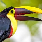 Toucans come to eat fruit from the trees.