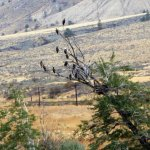 Eagles sitting in the tree on our way from Kamloops to Vancouver.