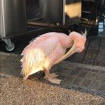 Billede af The Pelican