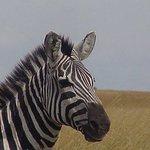 Zebra in Mara.