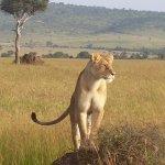 Lioness in Mara.